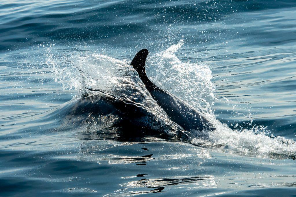 Minke Whale, Balaenoptera acutorostrata, Black-legged Kittiwake, Rissa tridactyla,Northern Fulmar, Fulmarus glacialis,White-beaked Dolphin, Lagenorhynchus albirostris,Northumberland,dolphin spotting, dolphin spotting Northumberland, dolphin spotting UK, dolphin spotting England, dolphin spotting North Sea, whale watching Northumberland, whale watching UK, whale watching England, whale watching North Sea