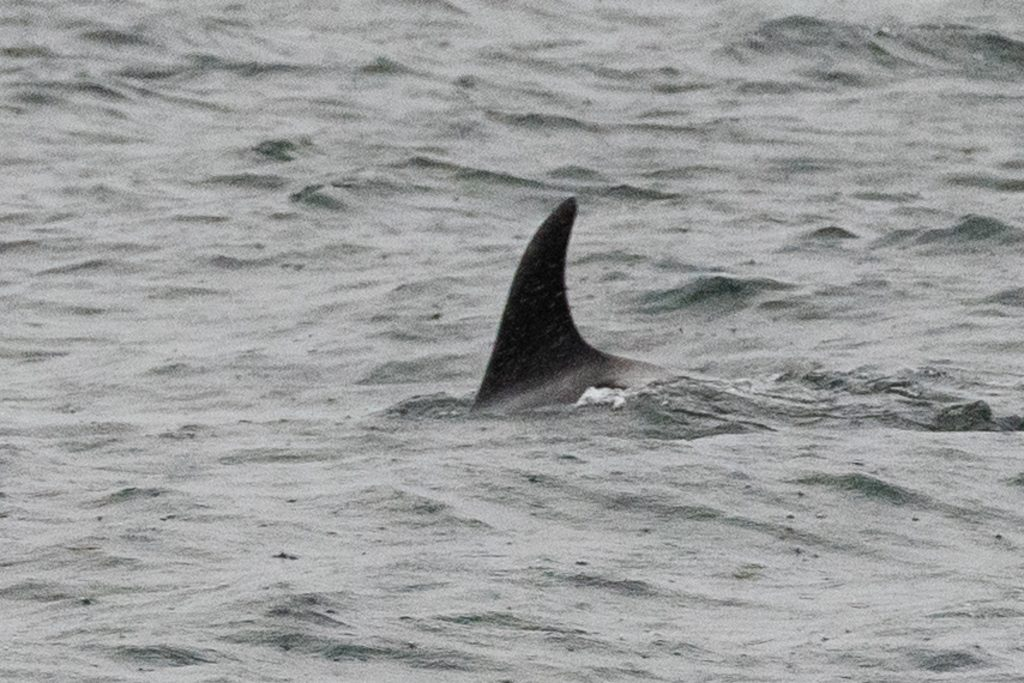 Our 4hr evening pelagic on 17/07/19 brought a stiff westerly wind, rain and White-beaked Dolphins