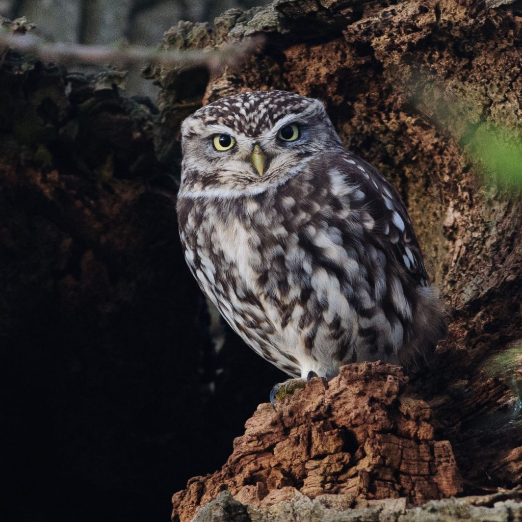 Little Owl,Athene noctua,bird photography,wildlfie photography,Druridge Bay,Northumberland,bird photography workshop,wildlife photography workshop