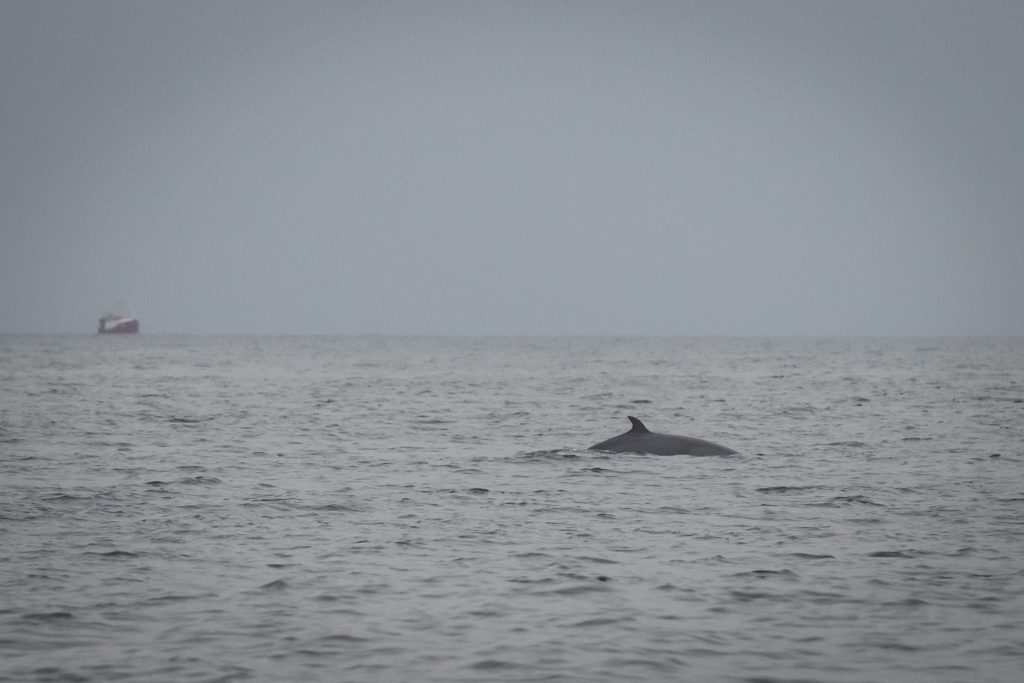 Our 10hr pelagic on 15/08/20 produced White-beaked Dolphin, Minke Whale, Harbour Porpoise and some incredible light over a smooth sea